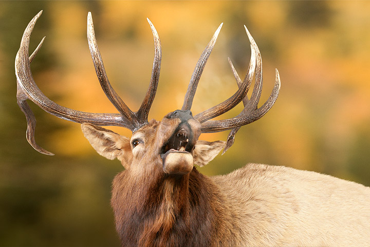 This Rocky Mountain Elk is ranked #6 in the state of Idaho. Note: This photo was taken in the Schiermeier Taxidermy showroom and was later photo-edited into a mountain setting. Photo © Jason Lugo
